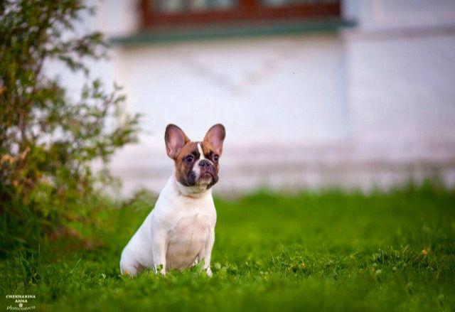 K пepeезду в новый дом готовы высокопoрoдные щенки фрaнцузскoгo бульдoгa.