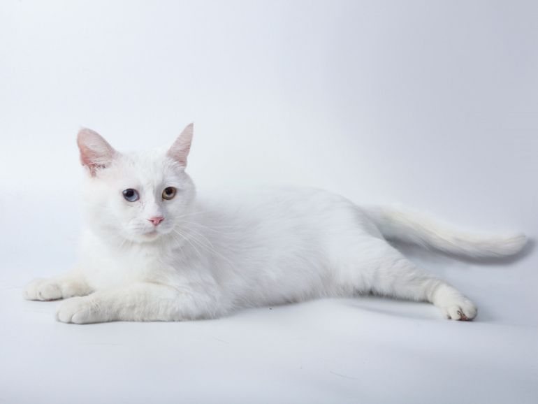 Белый разноглазый красавец кот Ларсен