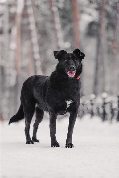 Чудесная собака Берта в добрые руки.
