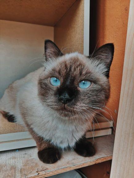 Тайская кошка Бусинка в хорошие руки