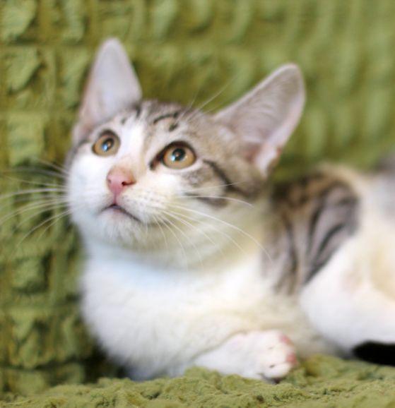 Ласковый котёнок Арамис в дар.