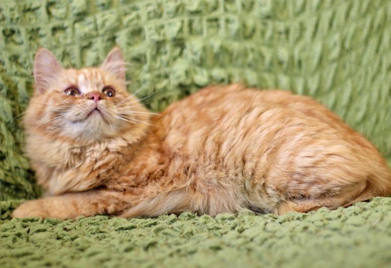 Рыжая солнечная котенок Злата в дар