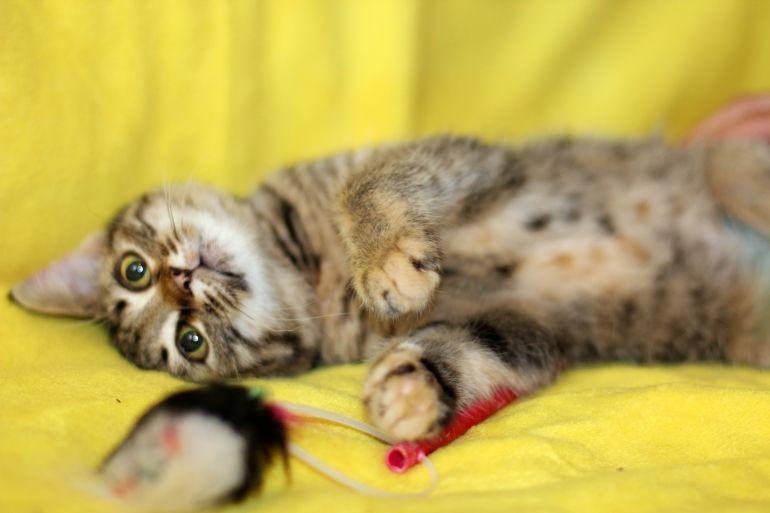 Полосатое очарование котенок Гита в дар.