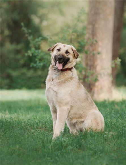 Большая собака Арья в добрые руки.