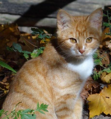 Апельсиновая кошка Злата