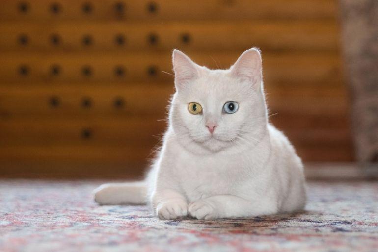 Лилу – элегантная и нежная кошечка 3,5 лет ищет свою семью