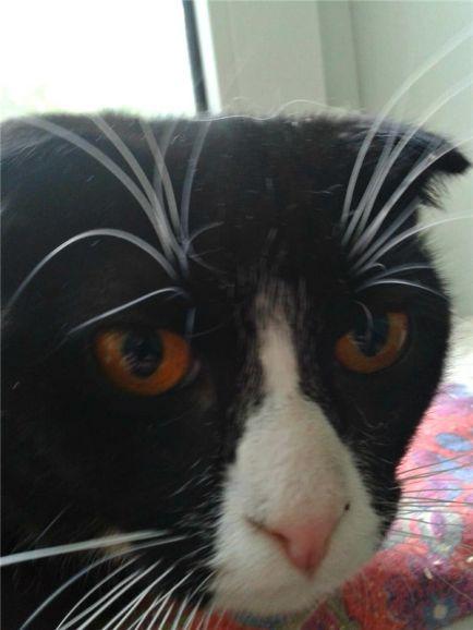 Вислоухий котик Емеля ищет дом.