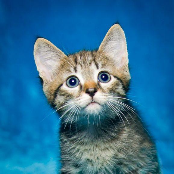 Отдам котенка в полосочку. 1.5 мес