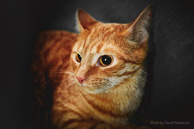 Рыжий красавец Тигра в поиске дома и семьи
