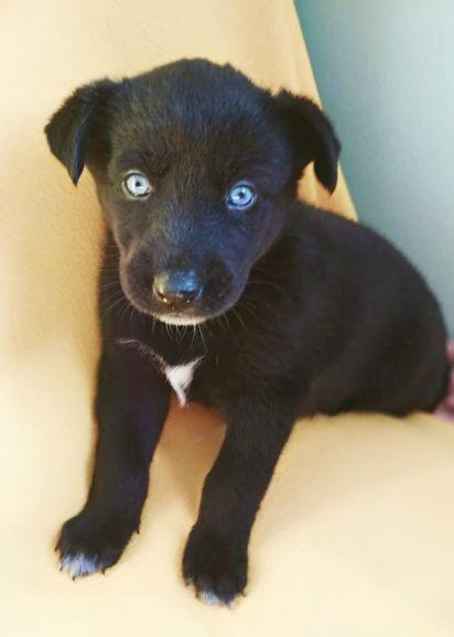 Голубоглазый щенок в дар