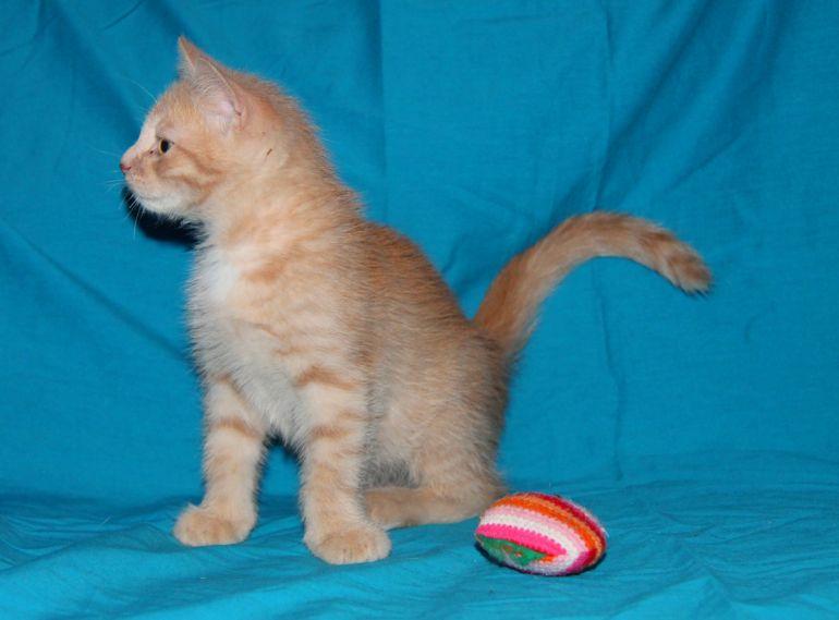 Котенок Абрикос в добрые руки