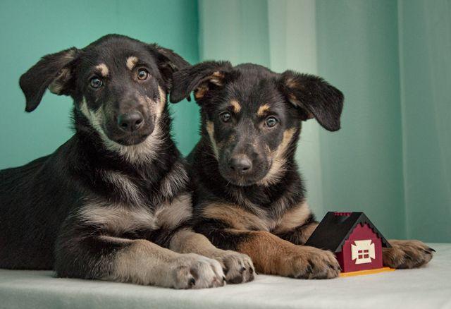 Дюка и Кедра 3 мес щенки метисы овчарки в дар