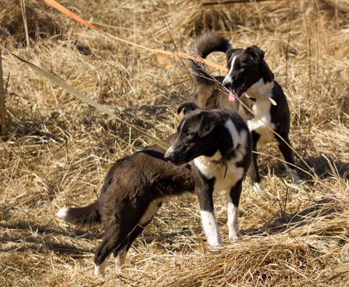 Две годовалые собаки Белка и Стрелка в добрые руки