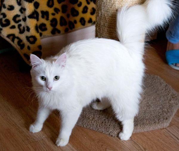 Ищет дом красавица-кошка, обожающая играть с игрушками, как собачка!