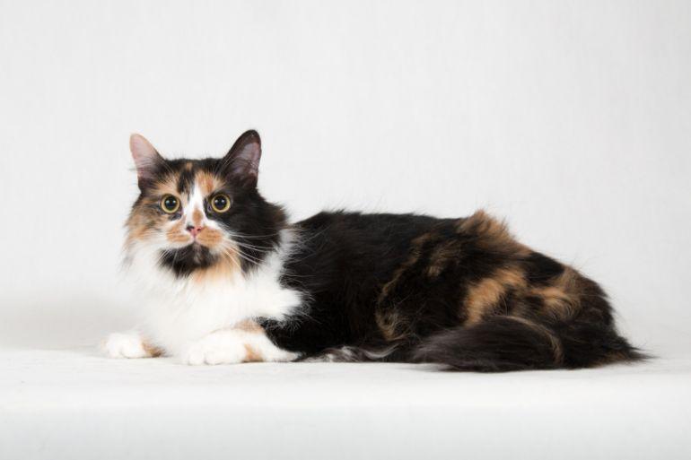Ксюша - пушистая ангорская трехцветная кошка