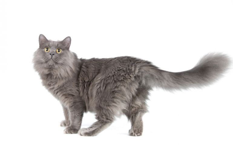 Молодой ласковый кот Бильбо, нибелунг