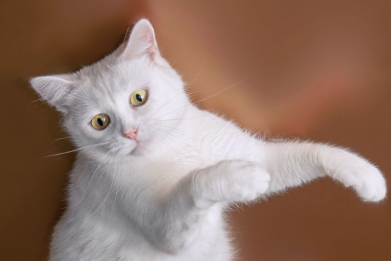 Белая кошка Лапочка ласковая и нежная