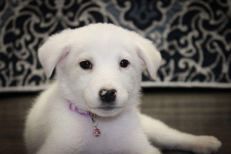Маленькая щено-девочка Милочка пристраивается в добрые руки.