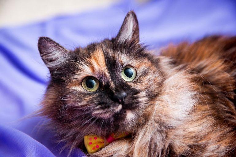 Кошка Тася в добрые руки.