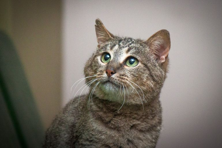 Необыкновенный котик Латук «острое ухо», «могучее сердце» ищет свою семью!