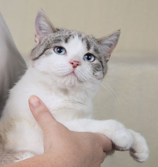 Котенок девочка голубоглазая Селина 4 месяца