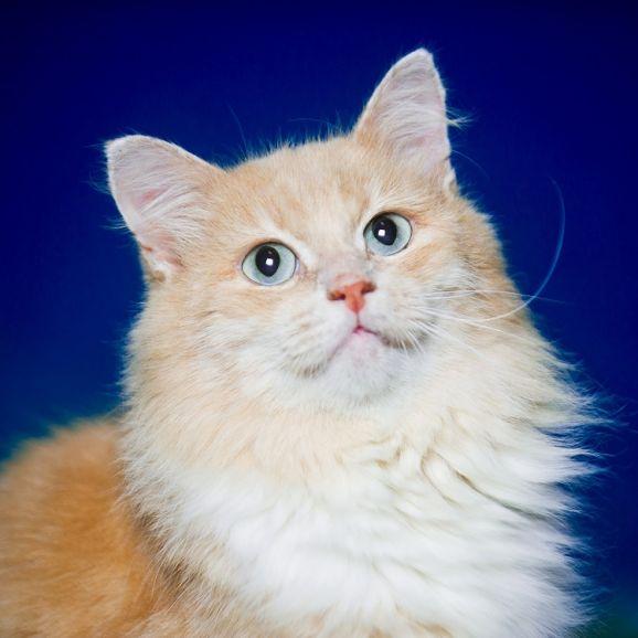 Роскошный кот в добрые руки