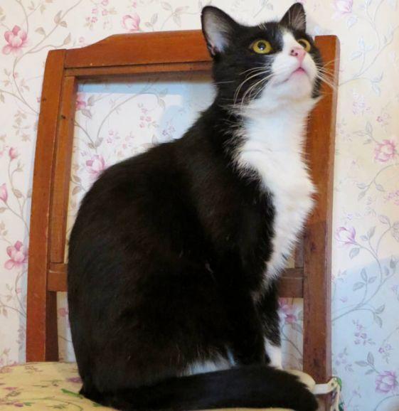 Умный, элегантный и ласковый котик Нельсон в добрые руки
