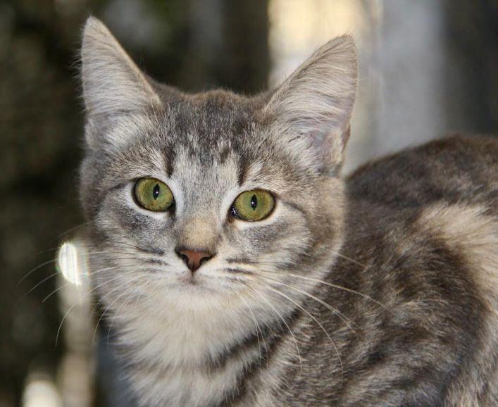 Дымчатая кошка Бэтси в самые лучшие руки
