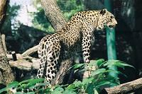 Леопарды - большие кошки