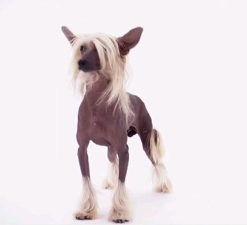 фото карманные собаки