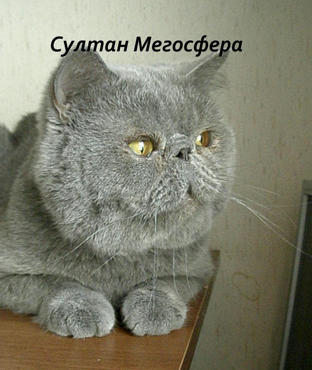Кот-экзот (плюшевый перс) приглашает на вязку