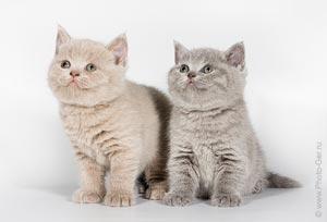 "Питомник британских кошек ""Lozovsky"""