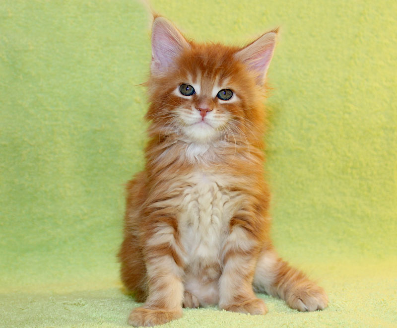 """Питомник """"Licacoon"""", чистокровные котята Мейн Кун"""