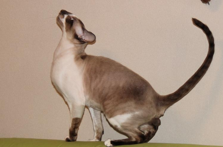 Сфинкс петерболд