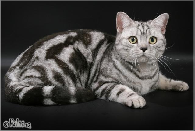 """Питомник """"British Magnificent Cat"""", мраморные британские котята"""