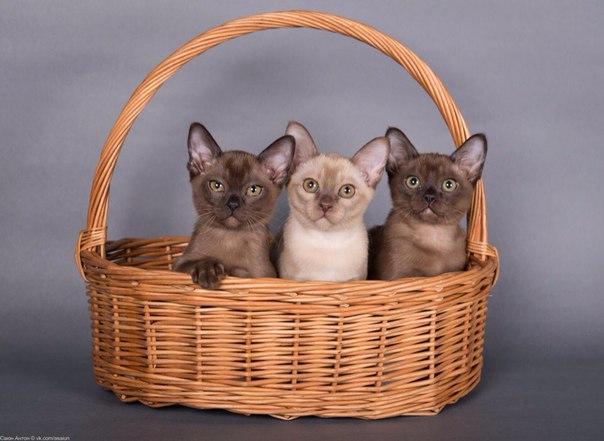 """Бурманские котята из питомника """"Дольче Бениамино"""""""
