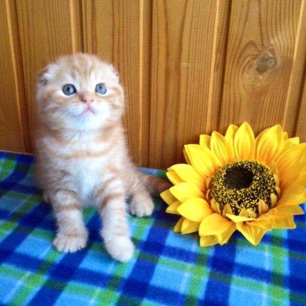 "Питомник ""Ro miracle"" продаёт шотландских котят"