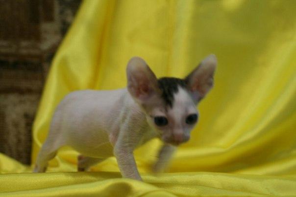 Питомник продаёт котят Корниш рекс