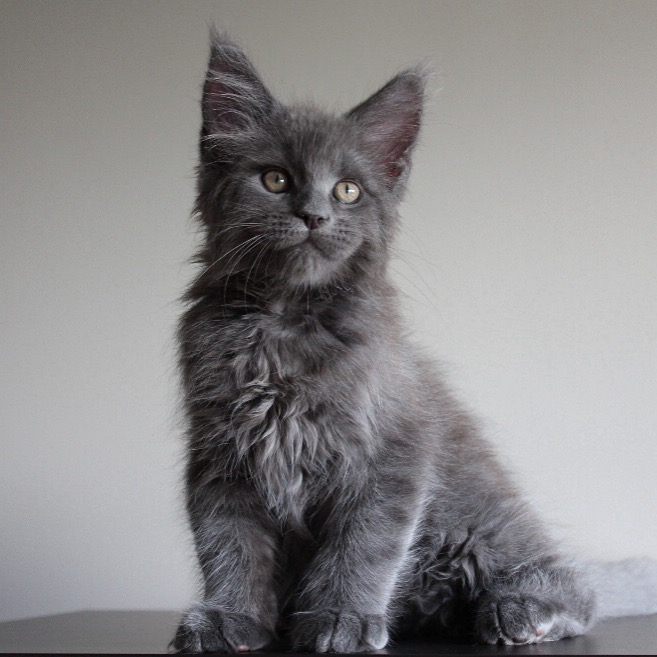 Мейн-кун котята от чемпиона Мира
