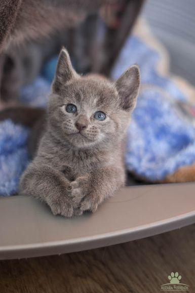 Роскошные русские Голубые котята из питомника