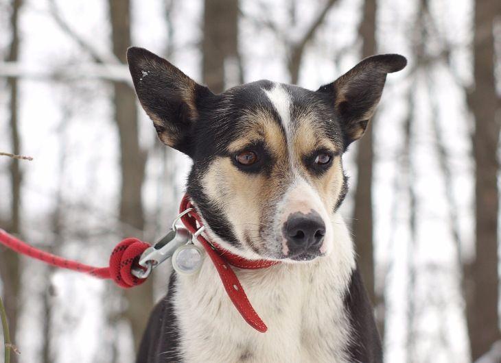 Умнейшая собака Одри в добрые руки