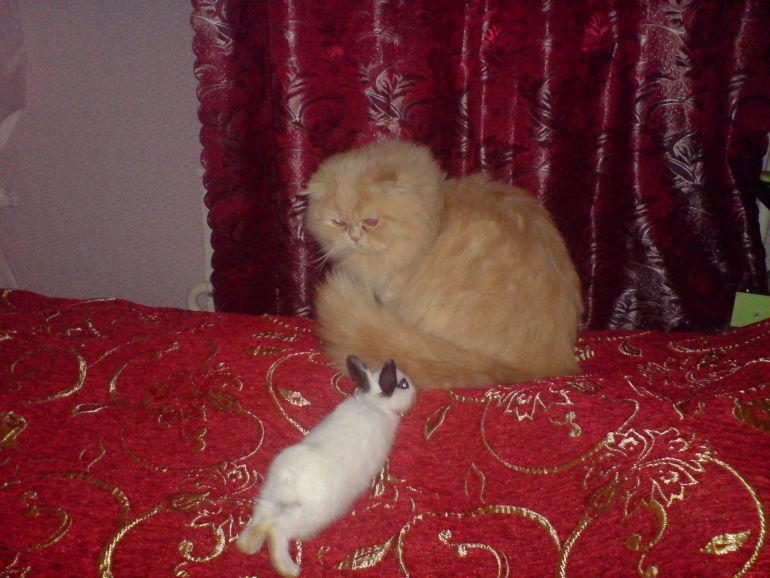 Персидский кремовый кот приглашает на вязку