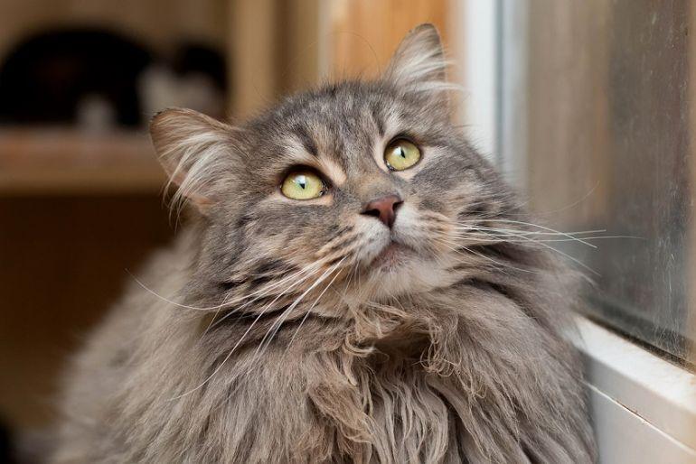 Крупный пушистый котик Ванечка в поисках семьи