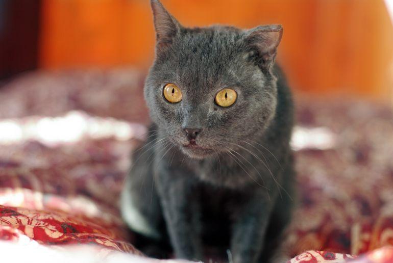 Взрослый и умудрённый жизнью кот Ришелье - бобтейл ищет дом