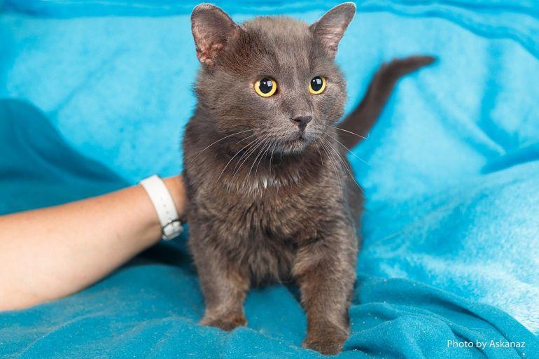 Шикарный крупный кот-красавец по имени Пифагор