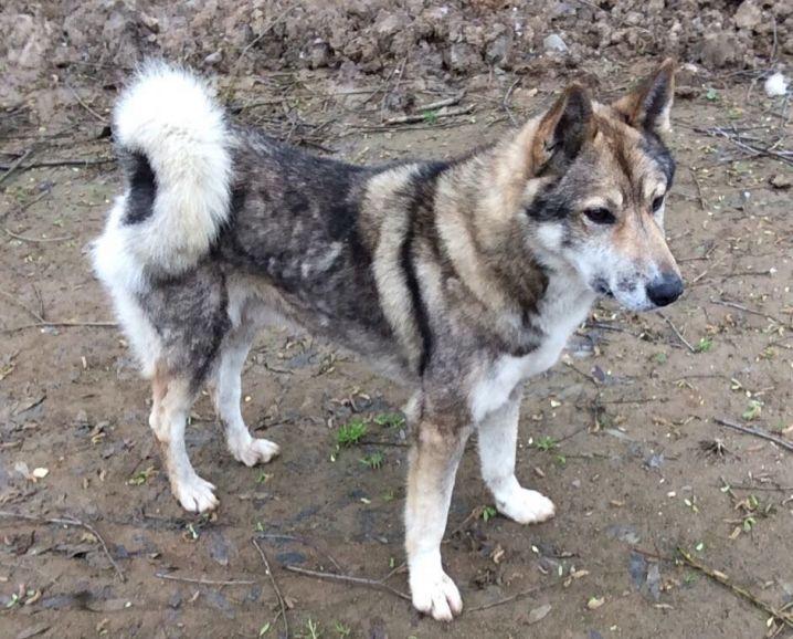 Пёс Гордый - Западно-сибирская лайка в дар, в добрые руки