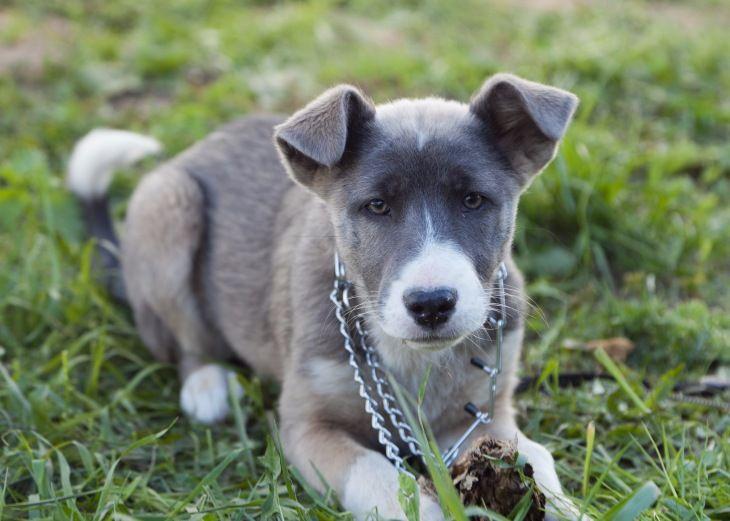 Отдам щенка с ярким окрасом