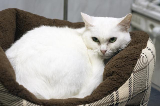 Прекрасная кошка по имени Сага в добрые руки
