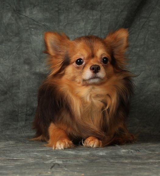 Чихуахуа щенок - длинношёрстный мальчик
