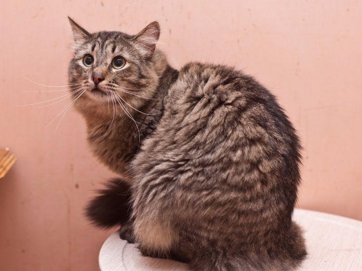 Сибирский кот в надёжные руки